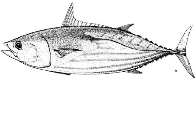 Tuna-illustration